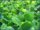 漂浮性水生植物去除廢水重金屬之生態技術